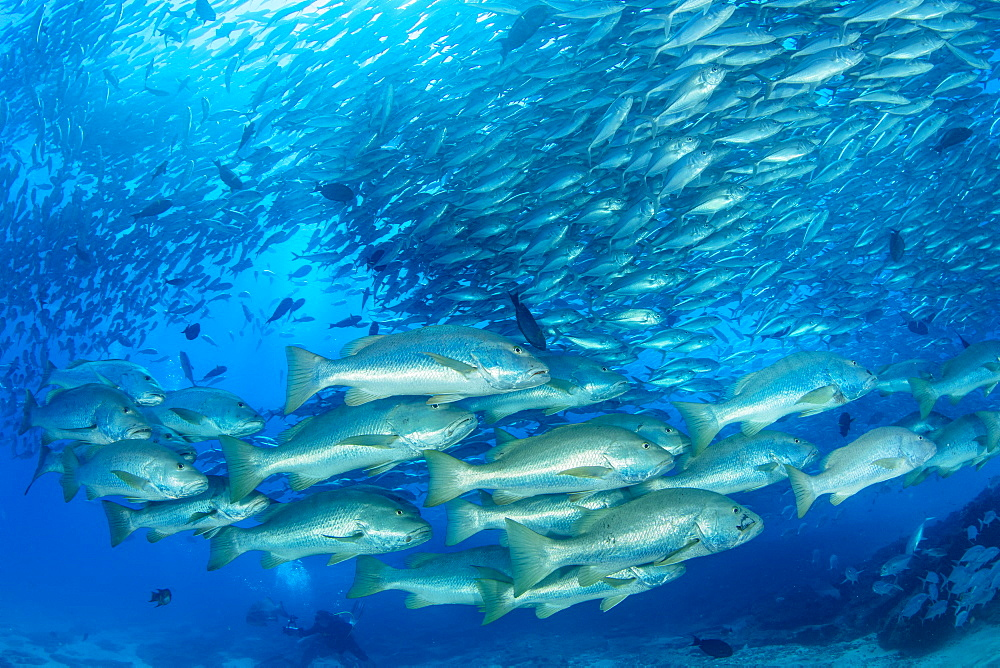 Shoal of Dog snapper, (Lutjanus novemfasciatus) in front of shoal of Big-eye jacks (Caranx sexfasciatus), Cabo Pulmo Marine National Park, Baja California Sur, Mexico