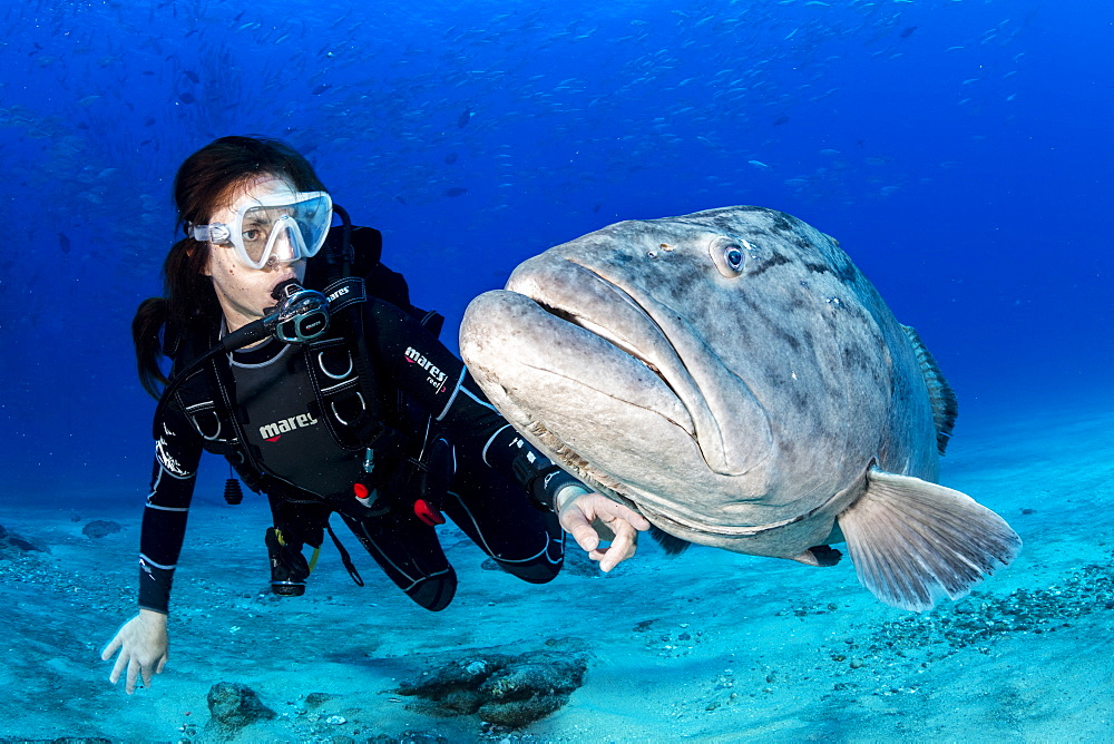 Scuba diver with big Gulf grouper (Mycteroperca jordani), Cabo Pulmo Marine National Park, Baja California Sur, Mexico