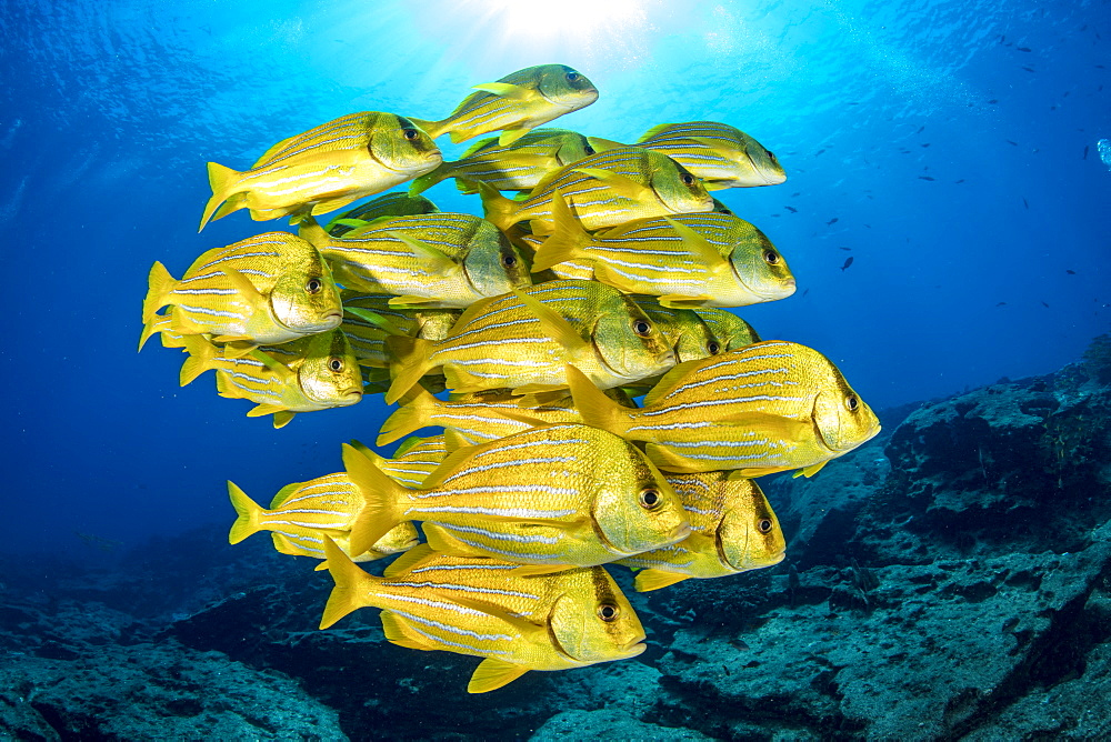Shoal of colorful yellow fish Panamic porkfish (Anisotremus taeniatus), Cabo Pulmo Marine National Park, Baja California Sur, Mexico