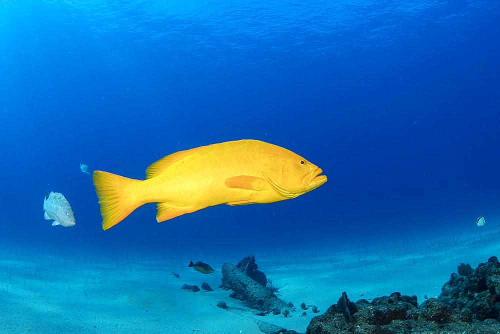 Golden grouper (Mycteroperca rosacea), yellow color-variation of the most common leopard grouper species, Cabo Pulmo Marine National Park, Baja California Sur, Mexico