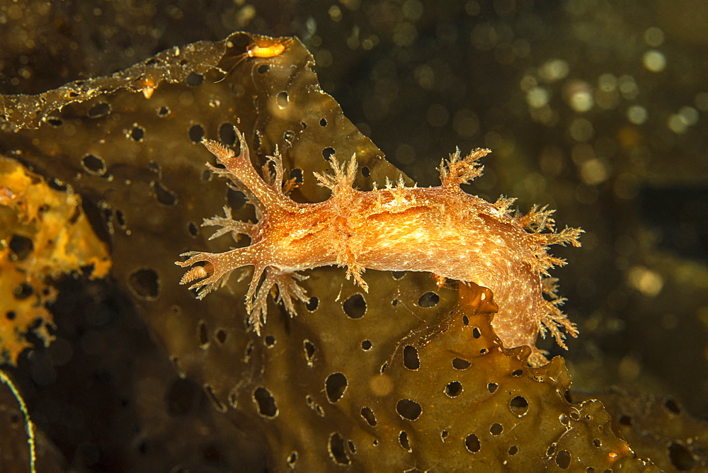Nudibranch (Dendronotus robusta) on brown algae commonly called kelp Tasiilaq, East Greenland