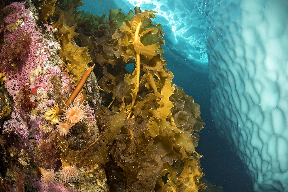 (Saccharina latissima), laminaria, a genus of 31 species of brown algae commonly called kelp with some anemones covering a wall close to an iceberg, Tasiilaq, East Greenland