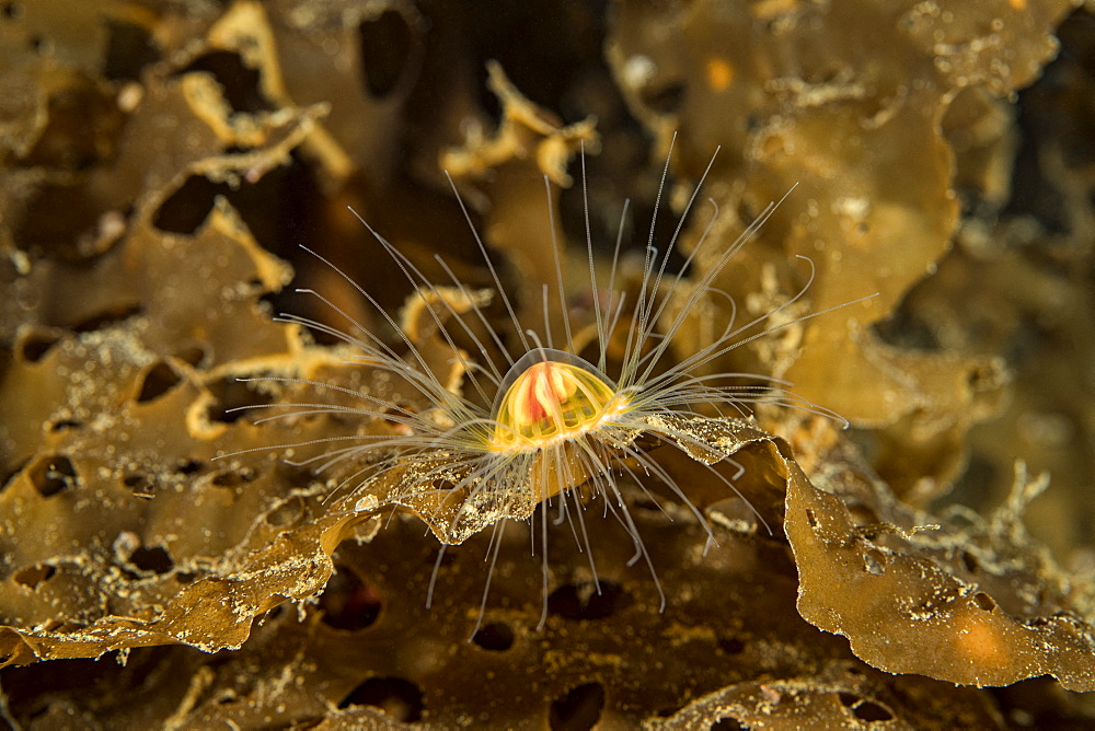A tiny Benthic Hydromedusa, with a bell size of less than one centimeter, (Ptychogastria polaris), Tasiilaq, East Greenland