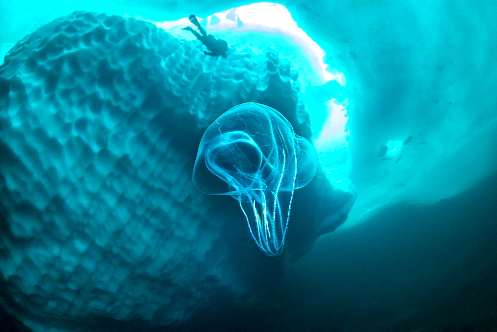 (Mnemiopsis leidyi), the warty comb jelly or sea walnut. Only in springtime, when the hard winter slowly subsides, are the ice-cold waters suitable for divers who can dive around a iceberg that floats in crystal-clear water, Tasiilaq, East Greenland