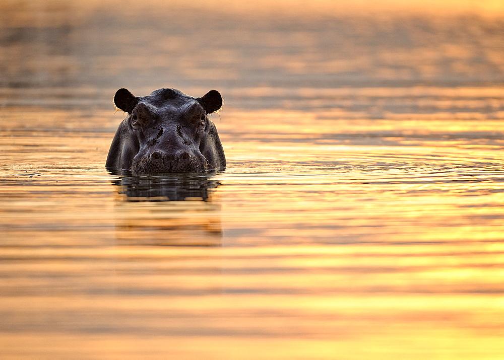 Hippopotamus (Hippopotamus amphibius) in water at sunset, Hwange, Zimbabwe