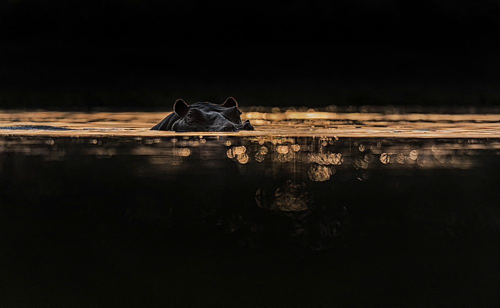 Hippopotamus (Hippopotamus amphibius) against the sun at sunset, Hwange, Zimbabwe