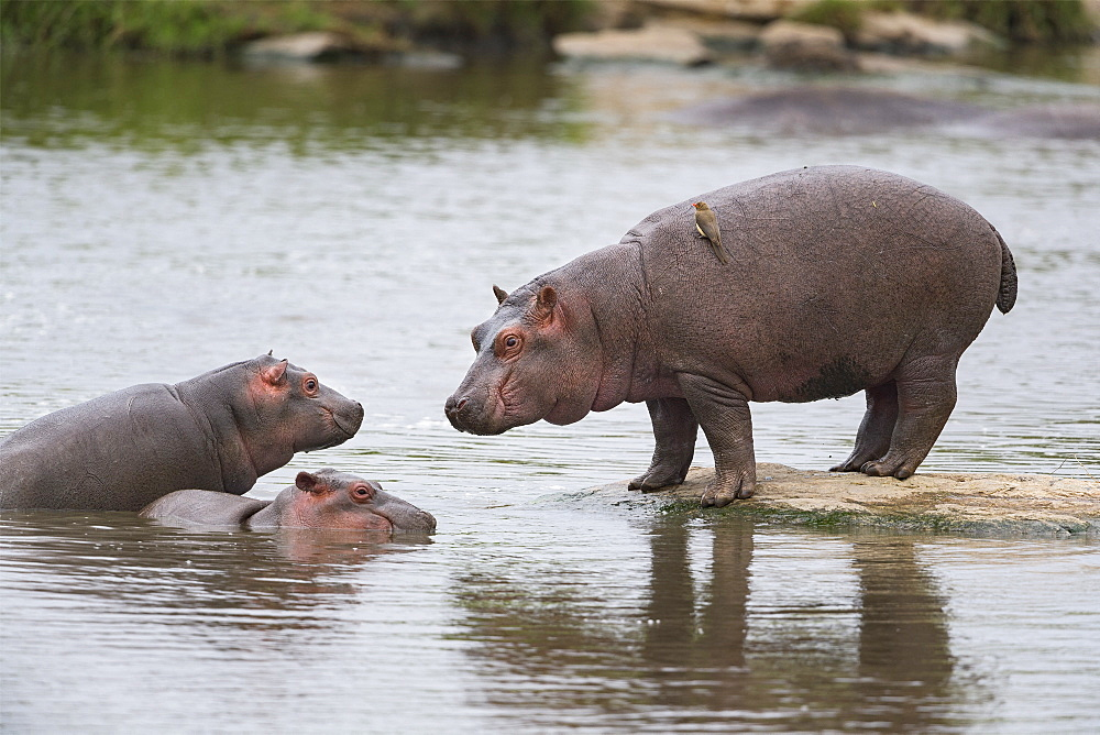 Hippopotamus (Hippopotamus amphibius) three young are watching each other, Kenya , Masaï Mara, National Reserve