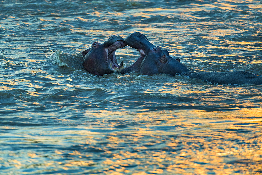 Hippopotamus (Hippopotamus amphibius) are playing to fight at dusk , Kenya , Masaï Mara, National Reserve