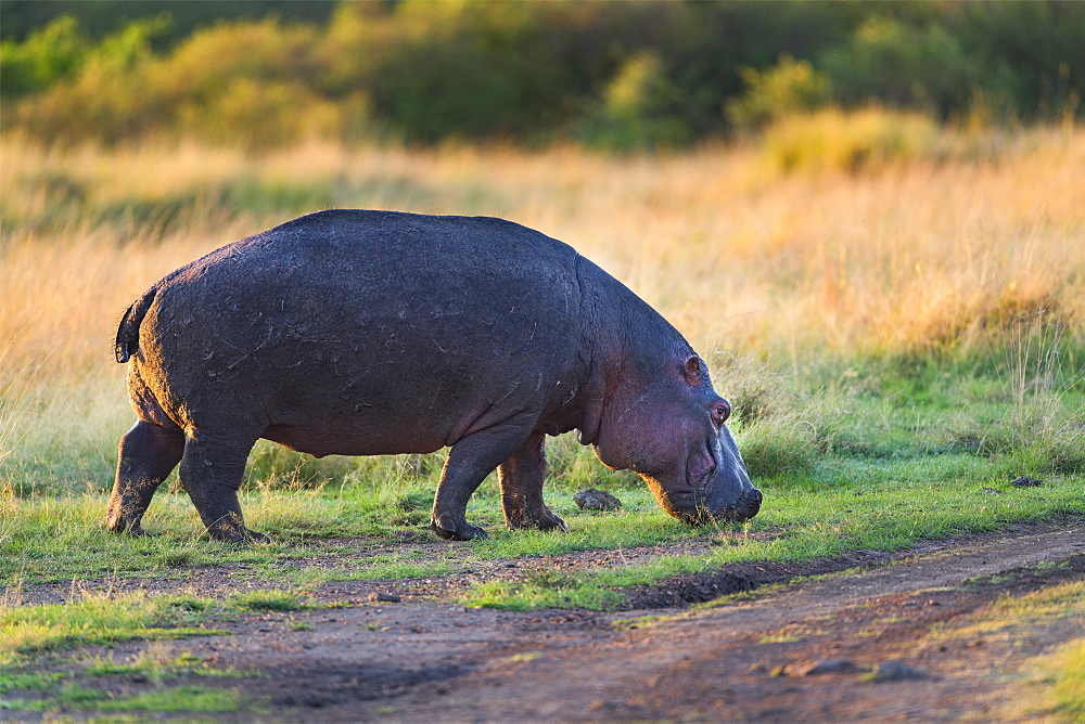 Hippopotamus (Hippopotamus amphibius) eating at the sunrise, Kenya , Masaï Mara, National Reserve