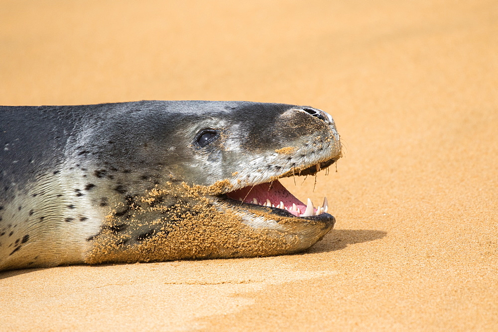 """Leopard seal (Hydrurga leptonyx) on the beach of Ulva Island in New Zealand wich is """"predatory free"""" because cleared of introduced mammals predators. The Leopard seal is fairly regular in the area and it was really amazing to observe it on a beach and not in the middle of the Antarctic ice."""