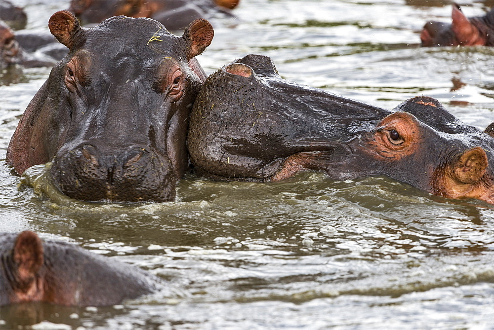 Hippopotamus (Hippopotamus amphibius) head against head, Kenya , Masaï Mara, National Reserve