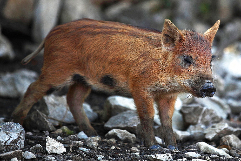 Boar pigglet walking on stones, France