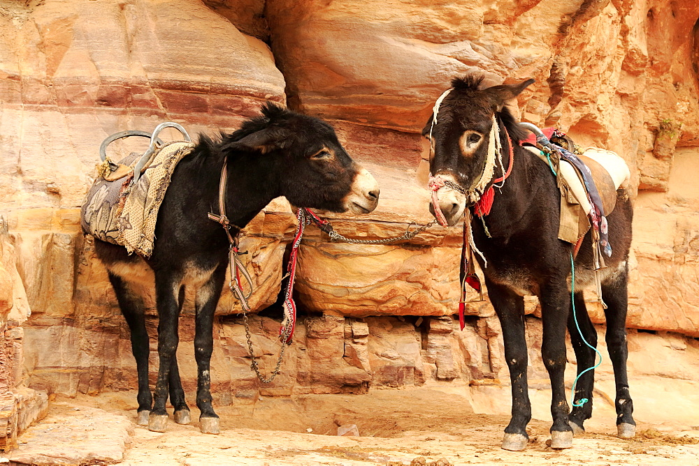 Donkeys in the ancient city of Petra in Jordan