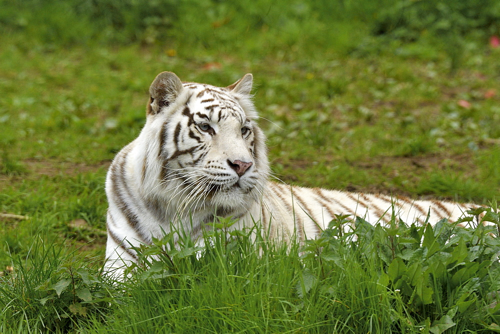 White tiger (Panthera tigris tigris) adult lying in the grass
