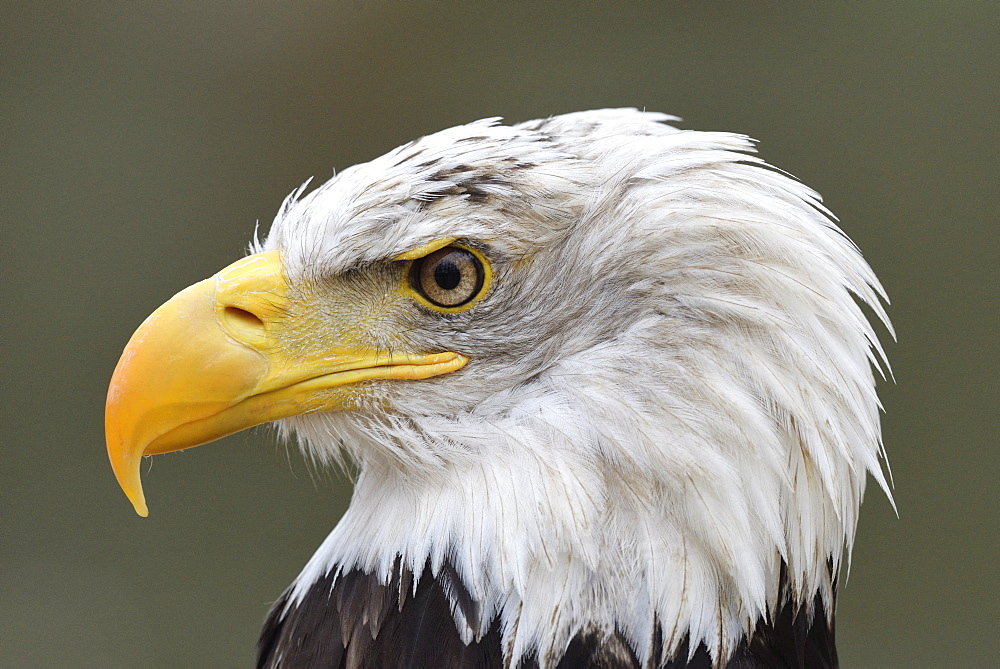 Bald eagle (Haliaeetus leucocephalus) Portrait of an adult, Bird symbol of the United States of America