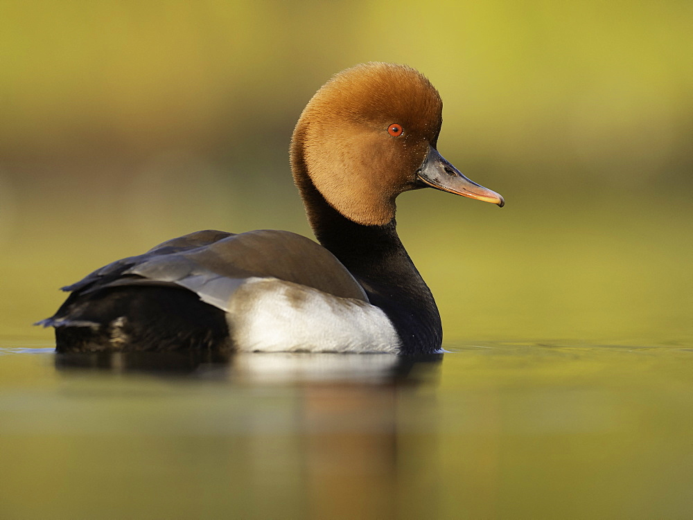 Red-crested Pochard (Netta rufina). A Red-crested Pochard in the Peak District National Park, UK.