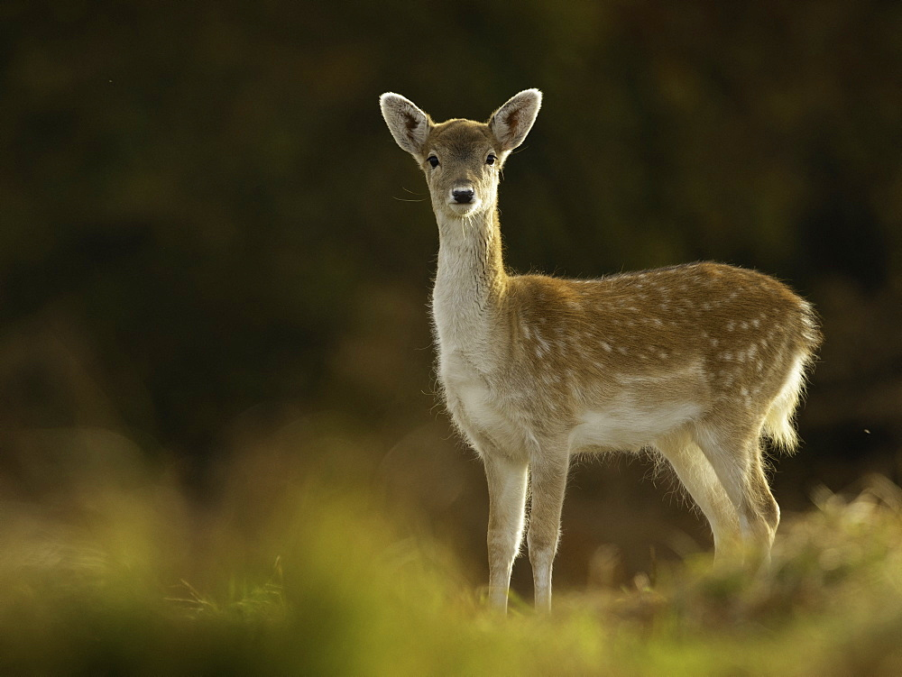 Fallow Deer (Dama dama). A Fallow Deer fawn in the Peak District National Park, UK.