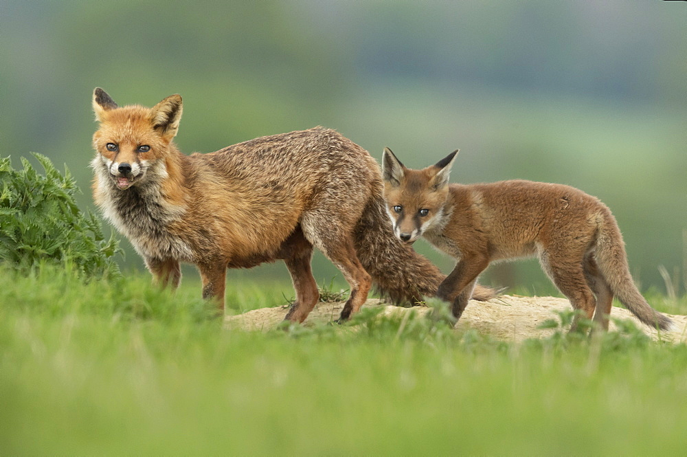Red fox (Vulpes vulpes) near the , England