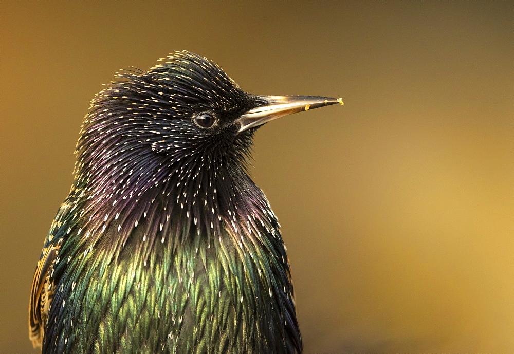 Starling (Sturnus vulagaris) portrait, England