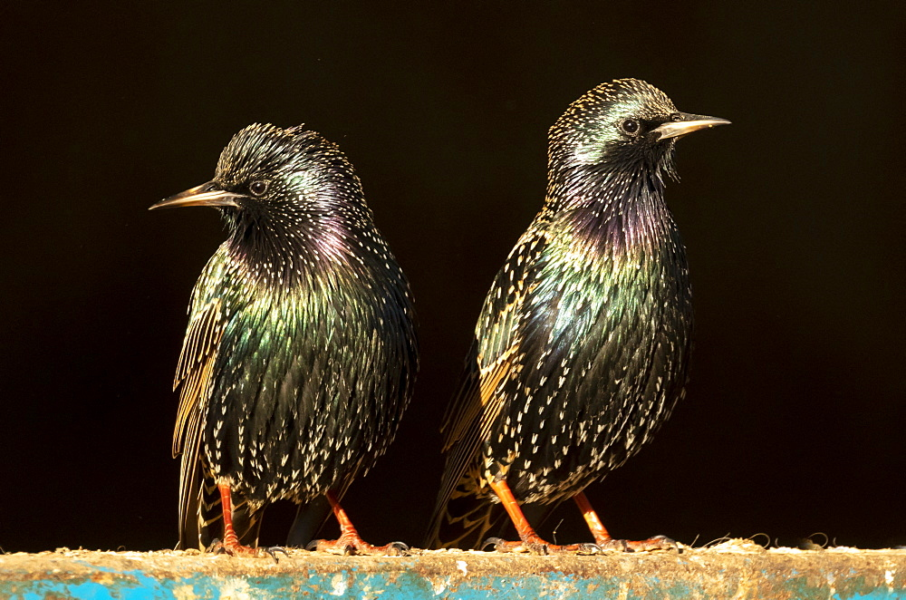 Starling (Sturnus vulagaris) perched on a blue fence, England