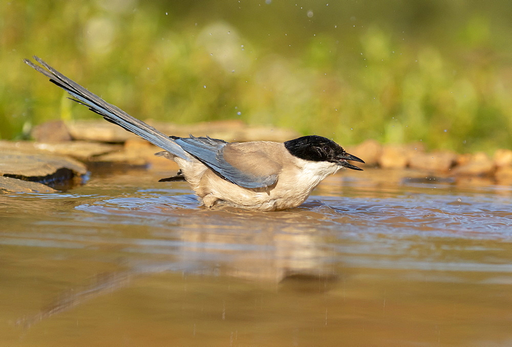 Azure-winged magpie (Cyanopica cyanus) washing itself, England