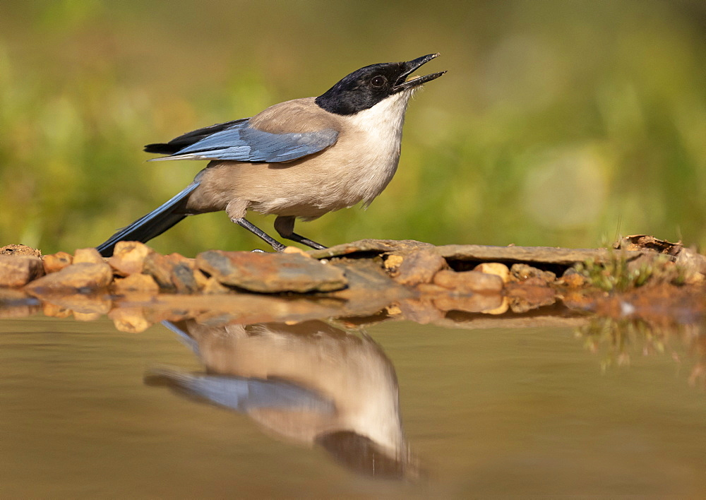 Azure-winged magpie (Cyanopica cyanus) drinking, Engalnd