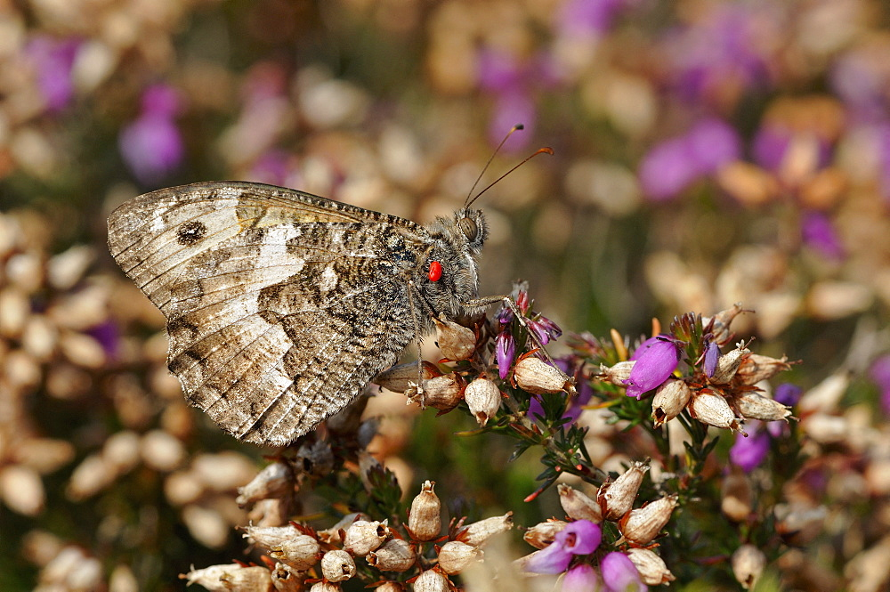 Rock grayling (Hipparchia semele) Imago posed in the moor with a red tick on the thorax mimicry of colors, Landes rases Cap d'Erquy, Natural site of the departmental council of Côtes d'Armor, Brittany, France
