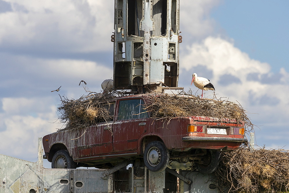 White Stork (Ciconia ciconia) nesting on top of an old car, Spain