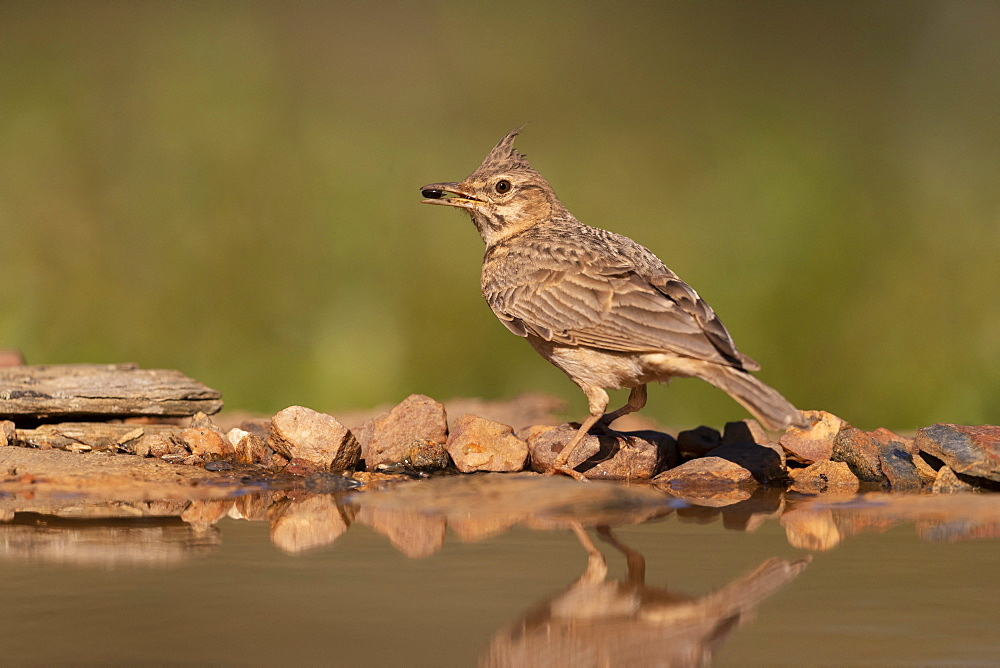 crested lark (Galerida cristata) eating a prey, Spain