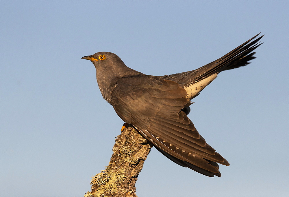 Cuckoo (Cuculus canorus) perched on a tree, Spain