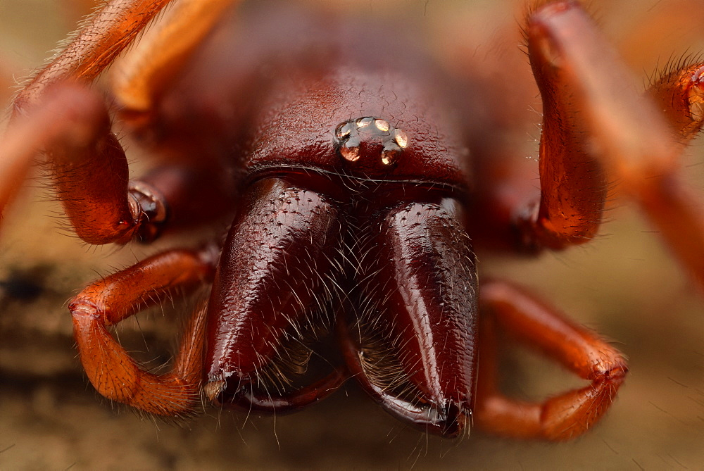 Woodlouse Spider (Dysdera crocata) female, close-up of the eye group and the chelicerae terminated by venom hooks, Luzarches, Val d'Oise, France