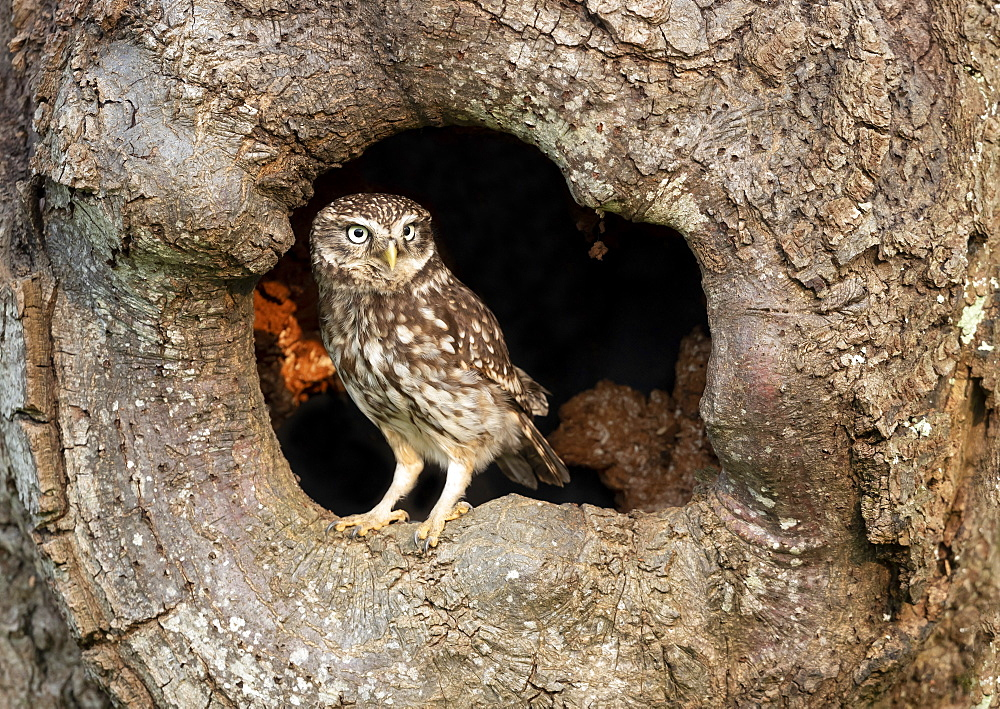 Little owl (Athena noctua) perched inside an hollow oak tree, England