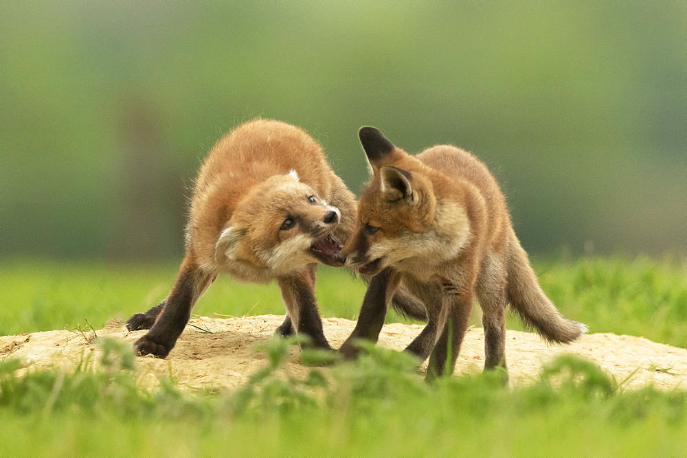 Red fox (Vulpes vulpes) cubs fighting, England