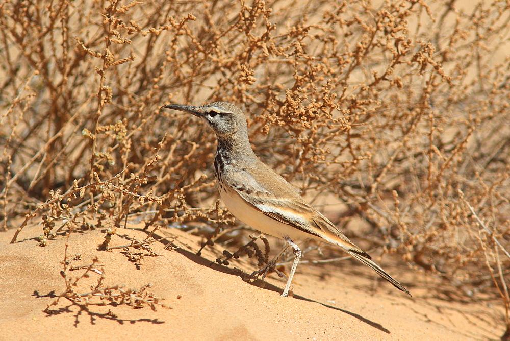 Greater Hoopoe-Lark (Alaemon alaudipes) on ground, Mauritania