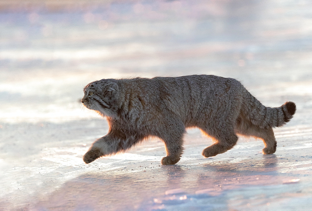 Pallas's cat (Otocolobus manul), moving, walking, Steppe area, East Mongolia, Mongolia