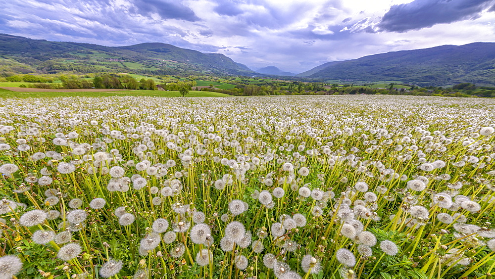 Dandelions (Taraxacum officinale) in full fructification in a meadow under a stormy sky, Seyssel, Haute-Savoie, France