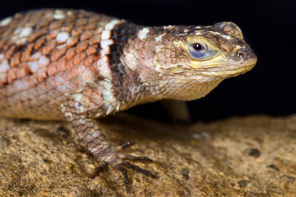 MacDougall's Spiny Lizard (Sceloporus macdougalli)