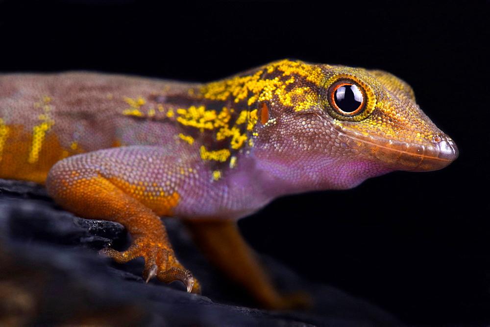 Psychedelic rock gecko (Cnemaspis psychedelica)