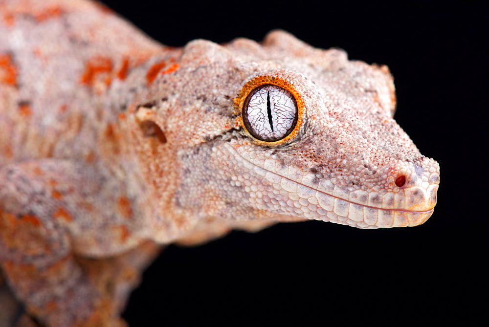 The Gargoyle gecko (Rhacodactylus auriculatus) is a medium sized, endangered, gecko species endemic to New Caledonia.