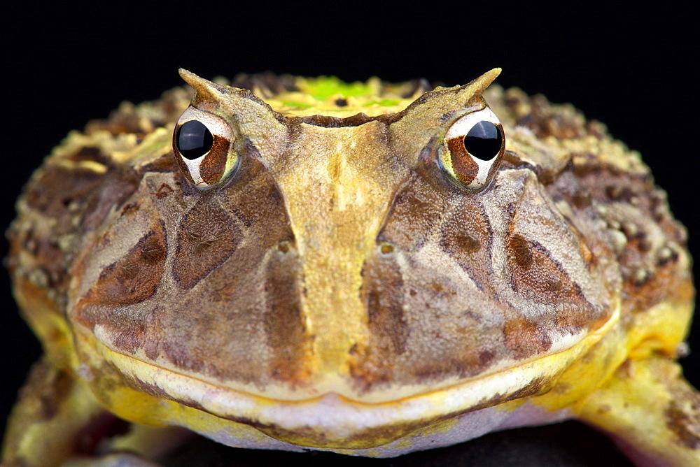 Brazilian horned frog (Ceratophrys aurita)
