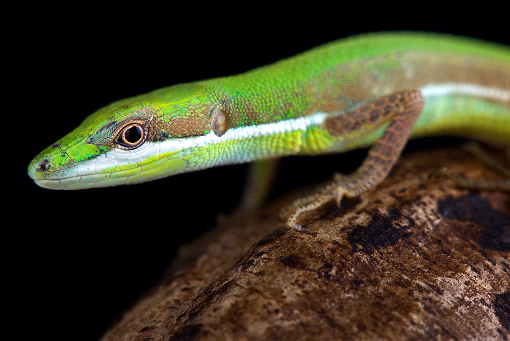 Emerald grass lizard (Takydromus smaragdinus)