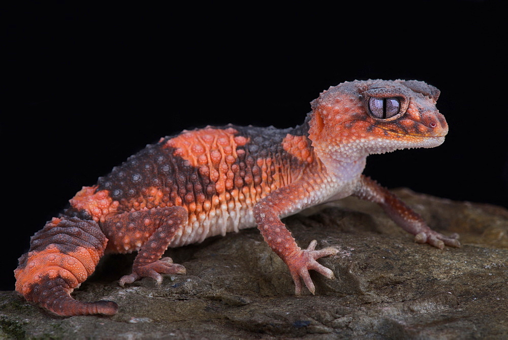 Northern banded rough knob-tailed gecko (Nephrurus wheeleri cinctus)