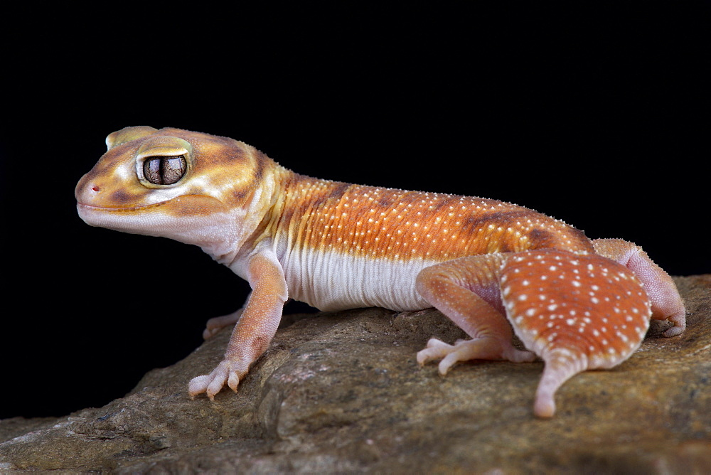 Western Smooth Knob-tailed Gecko (Nephrurus levis occidentalis)