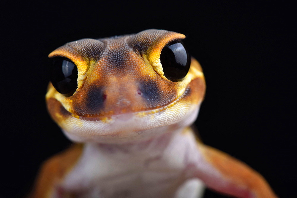 Smooth knob-tailed gecko (Nephrurus laevissimus)