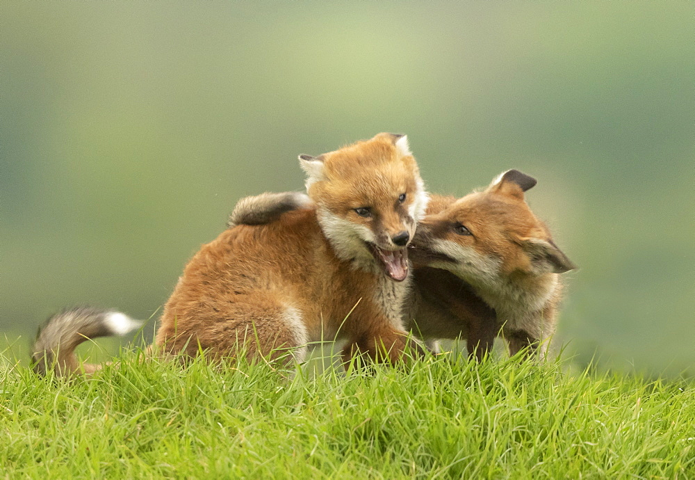Red fox (Vulpes vulpes) cub fighting, England