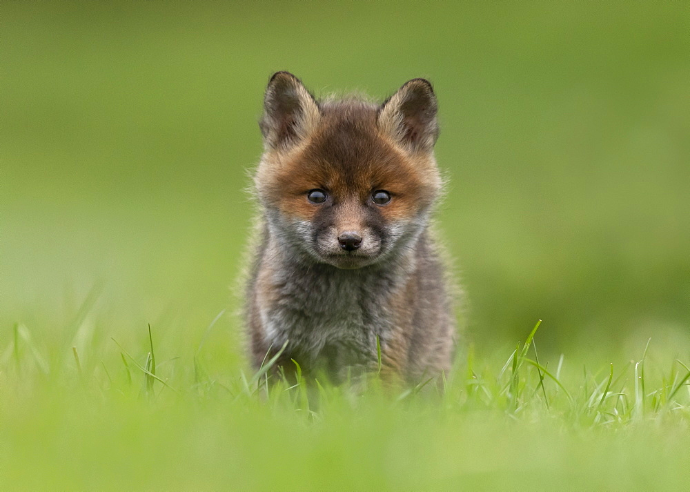 Red fox (Vulpes vulpes) cub standing in a meadow, England