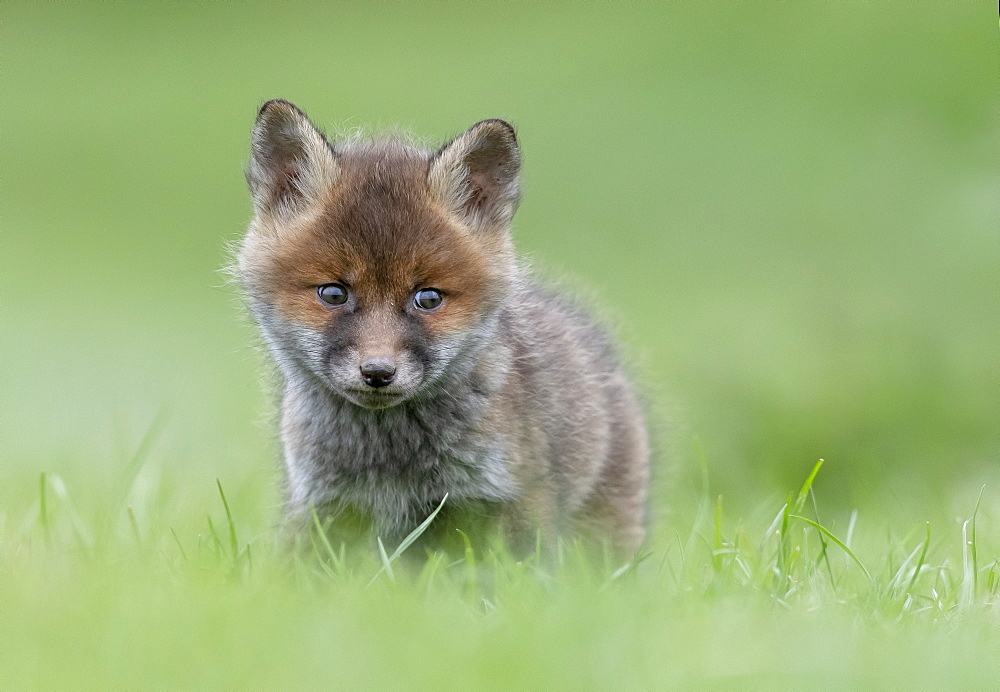 Red fox (Vulpes vulpes) standing in a meadow, Engalnd