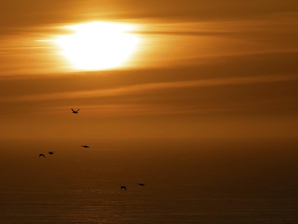 Group of Razorbills (Alca torda) fly over the sea at sunrise off the coast of Flamborough, UK.