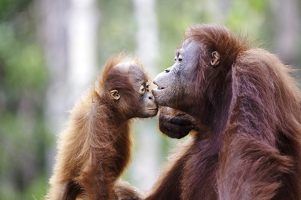 Borneo Orangutan (Pongo pygmaeus pygmaeus) portrait of female and her young, Tanjung Puting National Park, Indonesia