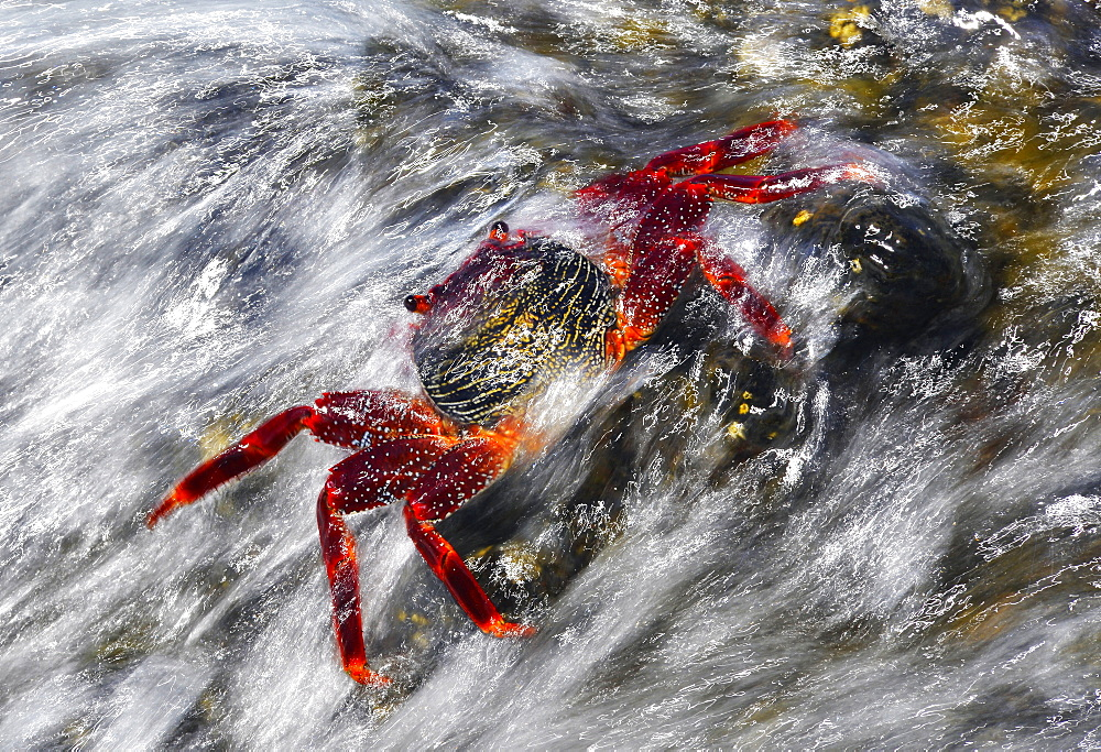 Lightfoot crab (Grapsus adscensionis) in the intertidal. Marine invertebrates of the Canary Islands, Tenerife.